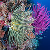 Crinoid and Soft Coral