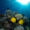 Butterflyfish on Jackson Reef