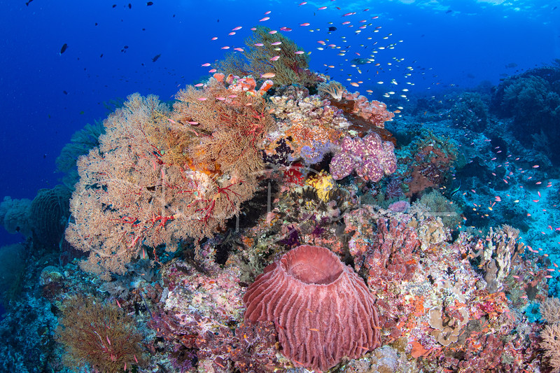 This beautiful reef with soft and hard corals and a barrel sponge was found in Tubbataha, Philippines.