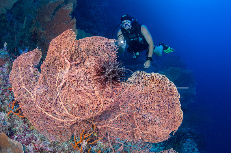 Gorgonian Sea Fan & Diver