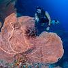 Gorgonian Sea Fan & Diver