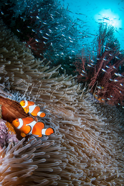 Clownfish and Reef