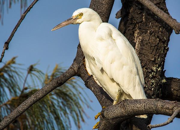 Egret, Heron Island