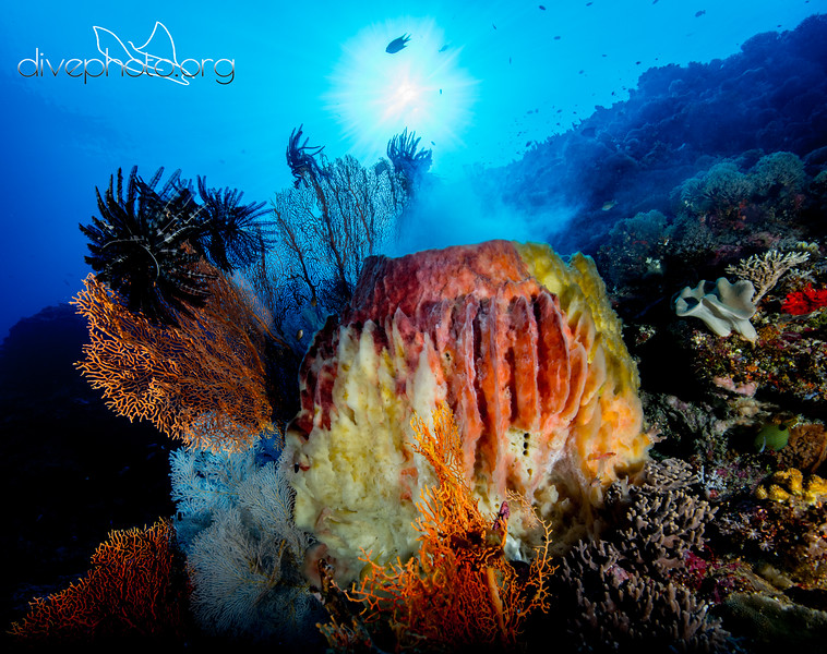 Barrel sponge spawning in South China Sea