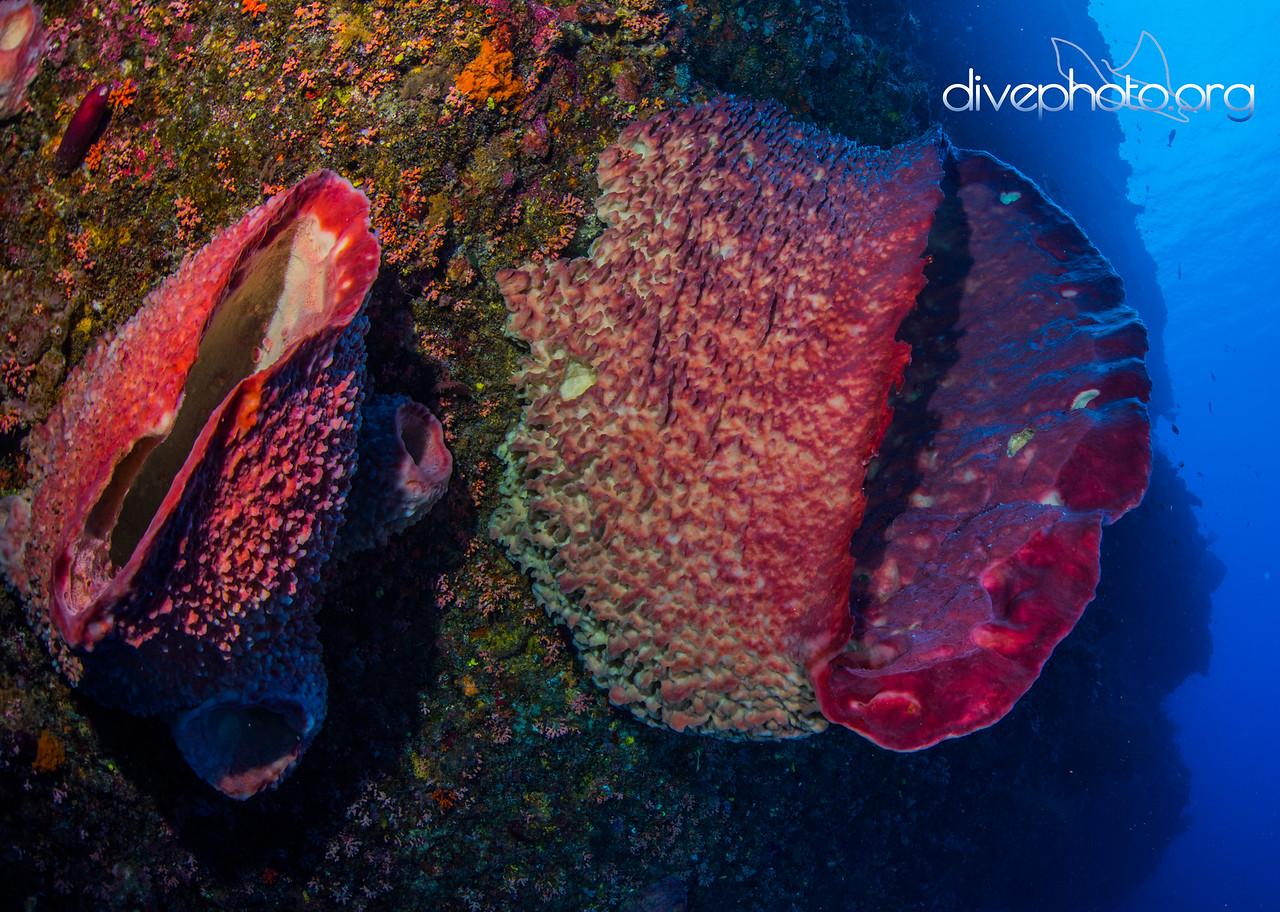 Barrel sponges, Layang Layang Atoll, Spratly Islands, South China Sea
