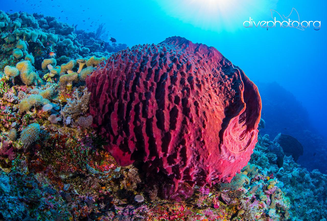 Barrel sponge, Layang Layang Atoll, Spratly Islands, South China Sea