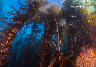 Kelp Forest, Monterey Bay, California