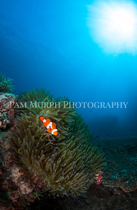 False Clownfish in Anemone