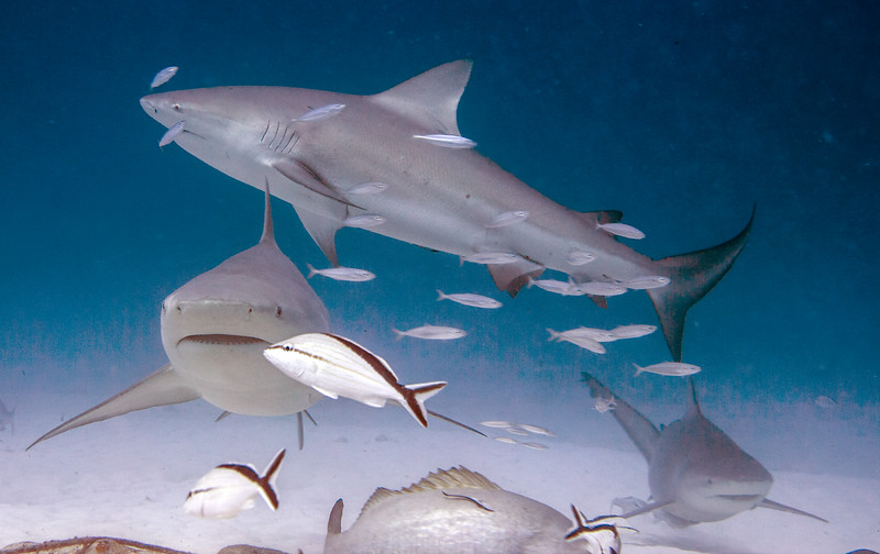 09-bull shark 7