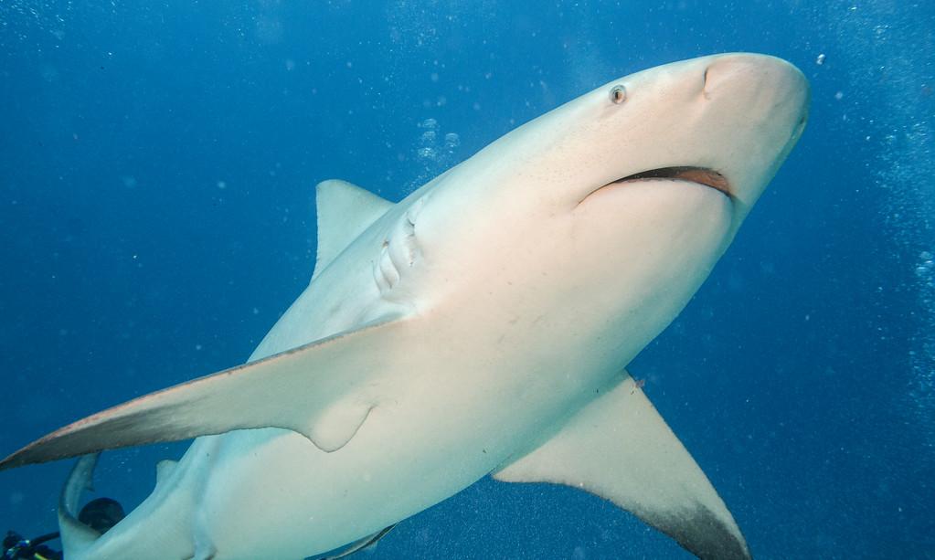 03-bull shark 3