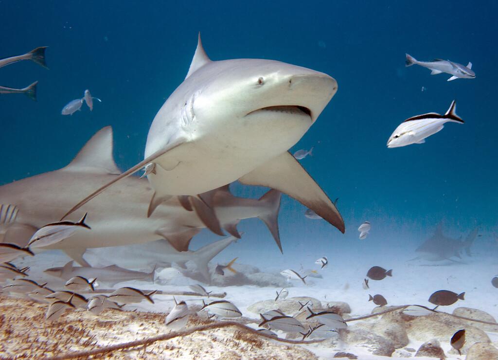 15-bull shark 13
