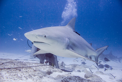 02-bull shark 2