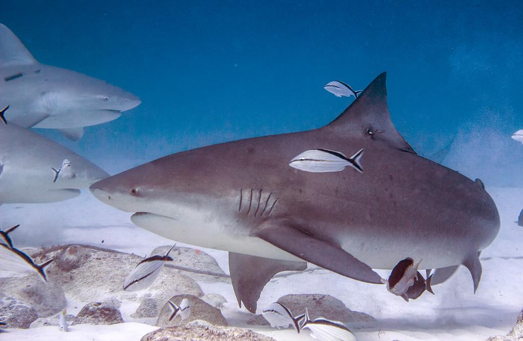 10-bull shark 8