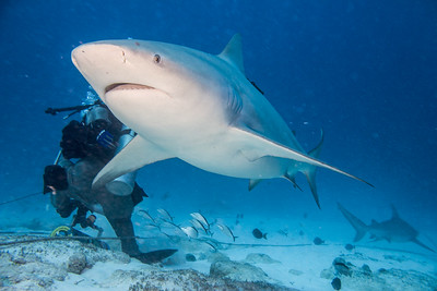 Bull Sharks at Playa Del Carmen