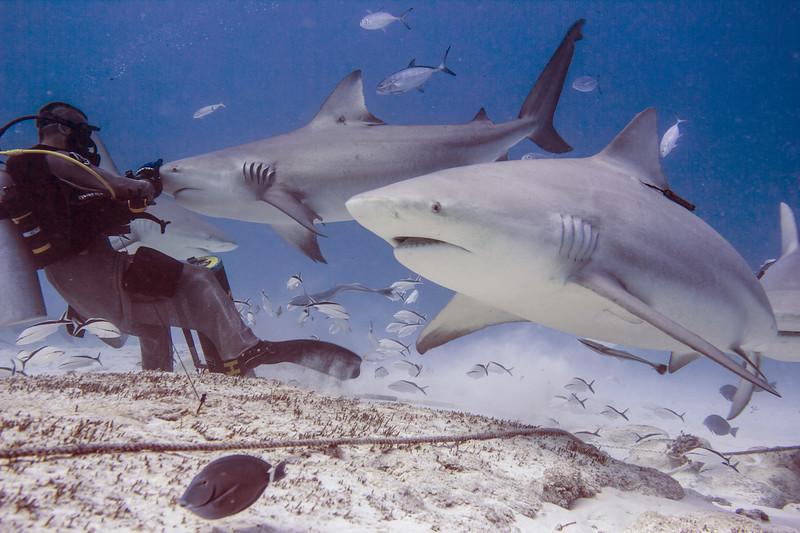04-bull shark 4