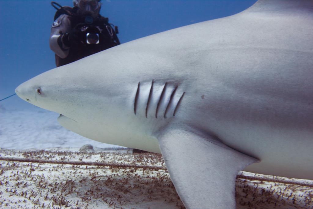 05-bull shark 5