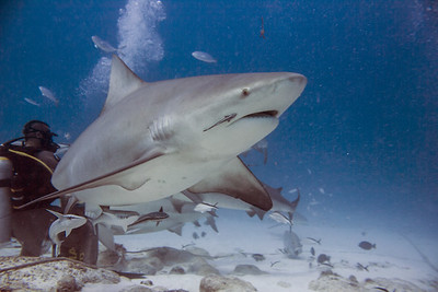 06-bull shark 6