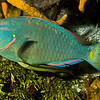 parrotfish - stoplight and shark sucker