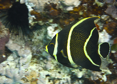angelfish - french angelfish juvenile