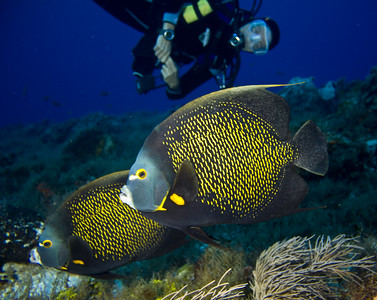 angelfish - french angelfish 2