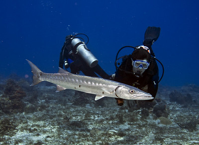 barracuda and diver