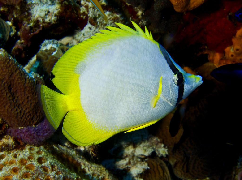 butterflyfish - spotfin butterflyfish