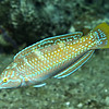 wrasse - pudding wife juvenile