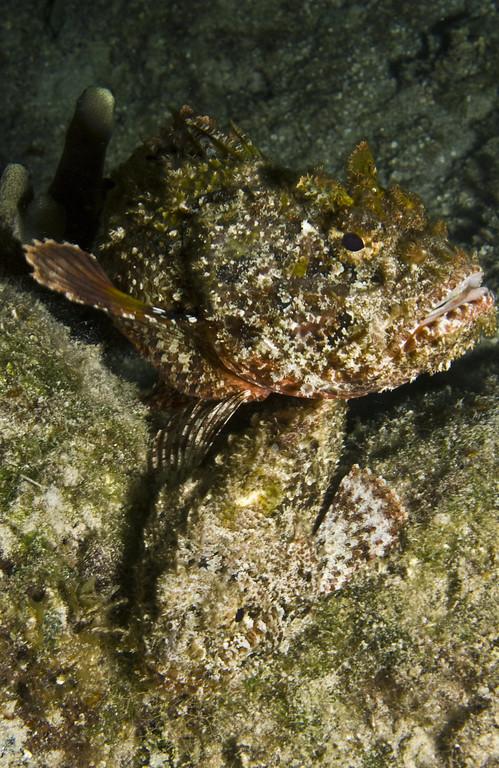 scorpionfish - spotted scorpiofish  mating