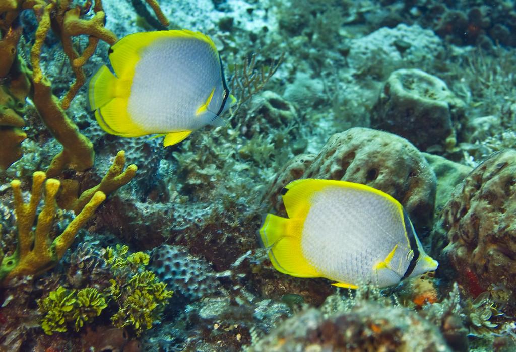 butterflyfish - spotfin