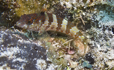 blenny - saddleback blenny