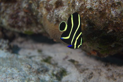 angelfish - french juvenile