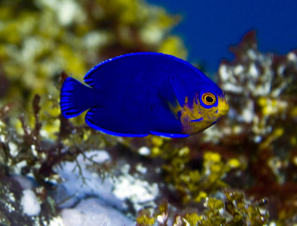 angelfish - cherubfish