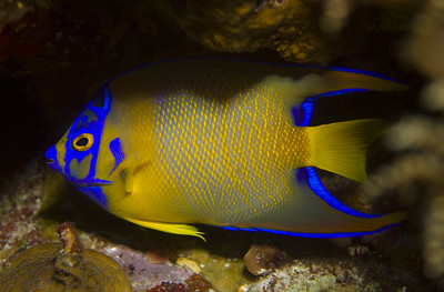 angelfish - queen juvenile