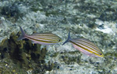 62-grunt - striped