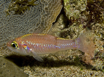 11-cardinalfish - roughlip