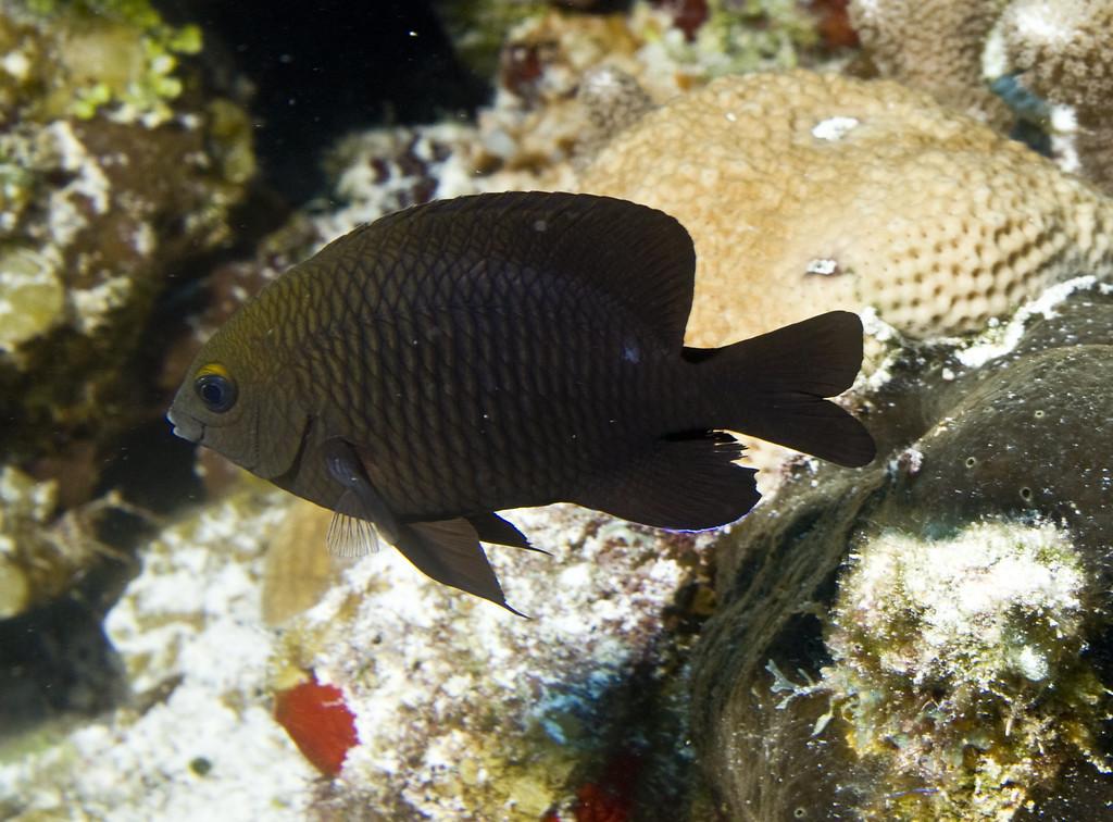 damselfish - longfin damselfish
