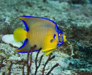 anglefish queen juvenile