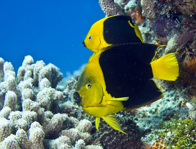 angelfish rock beauty