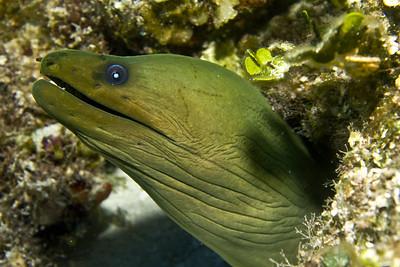 moray eel - green 2