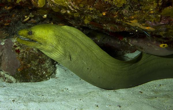 44-moray eel