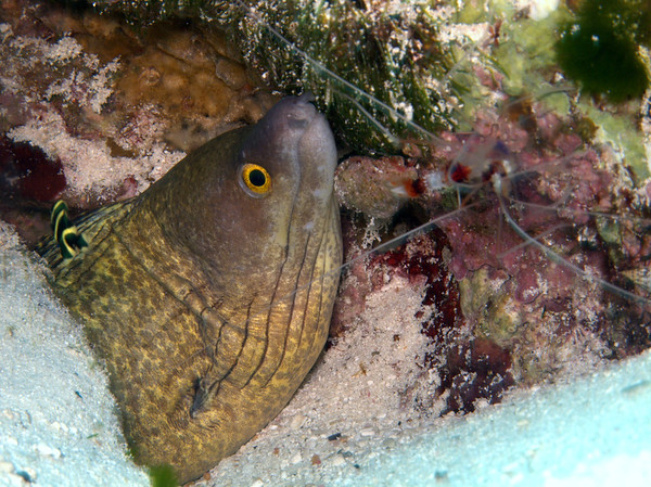 golden moray eel with baby gray angel and shrimp