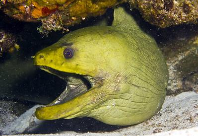 eel - green moray eel