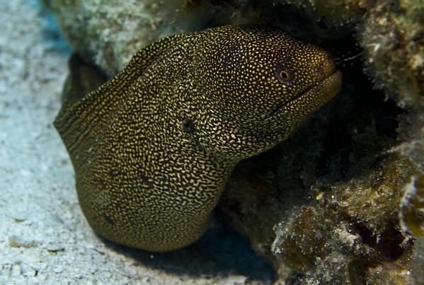 eel - golden tail moray eel 2