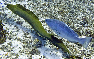 moray and grouper