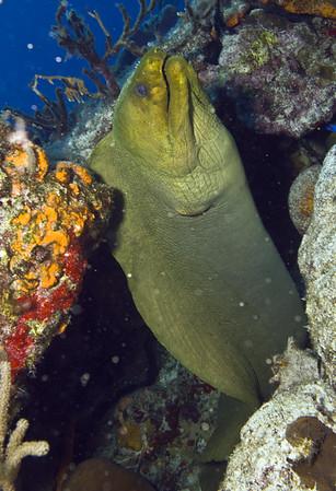 moray eel - green moray eel