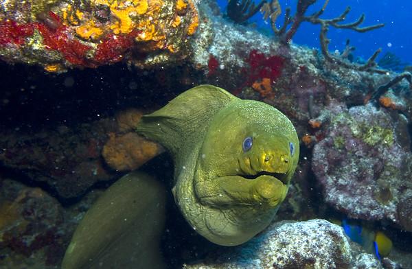 moray eel - green moray eel 2