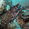 moray - spotted