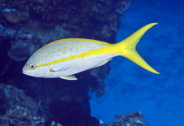 snapper - yellowtail