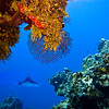 Eagle Ray at Columbia Reef