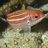 squirrelfish - dusky